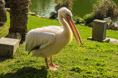 Pelican. Single Pelican in Jerusalem Zoo on the green grass Royalty Free Stock Photos