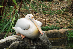 Pelican Sit Stock Images