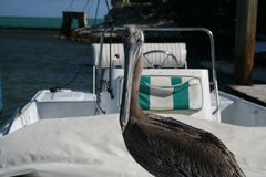 Pelican. A pelican sits in a boat in Florida Stock Photos