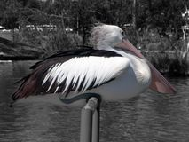 Pelican Sitting Royalty Free Stock Photography