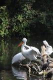 Pelican. Stock Photos