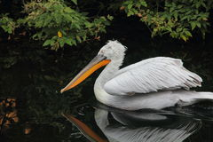 Pelican. Royalty Free Stock Photos