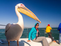 Pelican sitting on a boat next to tourists on a cruise in Walvis Royalty Free Stock Photos