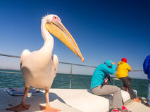 Pelican sitting on a boat next to tourists on a cruise in Walvis Royalty Free Stock Photo