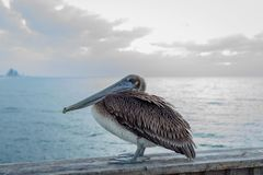 Pelican sitting on a bridge. Pelican sitting on a beam over the ocean at sunrise Stock Photo