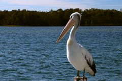 Pelican sitting calmly on pole stock photography