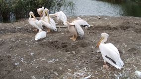 Pelican sitting down a group stock video footage