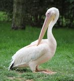 Pelican sitting on the grass Stock Images