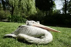 Pelican sitting on the grass Royalty Free Stock Image