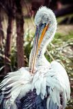A Pelican Sitting on the grass. Stock Image