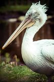 A Pelican Sitting on the grass. Stock Photos