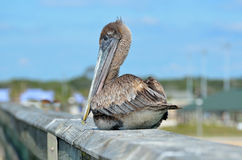 Pelican sitting on handrail Royalty Free Stock Image