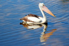 Pelican sitting on the Lake. Stock Images