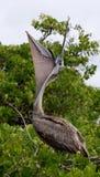 Pelican sitting on a mangrove tree. Seabirds. The Galapagos Islands. Ecuador. Stock Photography