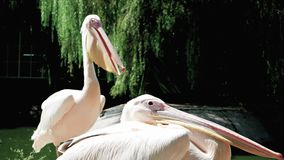 Pelican sitting near pond, side view of huge light beige wildbird with long beak, bird opening beak. Pelican sitting near pond, side view of huge light beige stock video footage