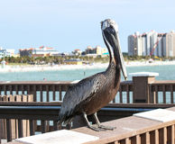 Pelican. A pelican sitting on a pier in Florida royalty free stock images