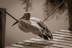 Pelican, sitting on the rope Royalty Free Stock Photography