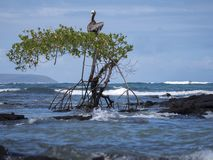 Pelican sitting on tree Galapagos Islands stock photos