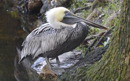 Pelican. Sitting and waiting for some fish Royalty Free Stock Photos