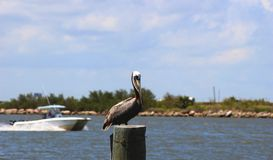 Pelican Sitting on Post with Boat passing by Royalty Free Stock Images