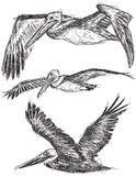 Pelican sketches. Sketchy, Brown Pelicans in flight Royalty Free Stock Image