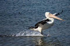 Pelican skimming across water during landing Stock Photos