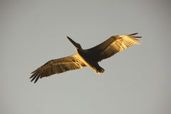 Pelican in the sky. Pelican flying in the sky with the sunlight in its wings Stock Images