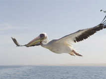 Pelican in the sky Royalty Free Stock Images