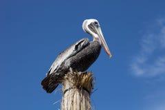 Pelican Stock Photography