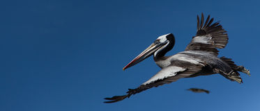 Pelican. In the sky. Ballestas islands, Peru Royalty Free Stock Photo