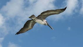 Pelican in the sky. Royalty Free Stock Images
