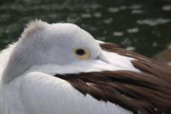 Pelican Sleeping Stock Photography