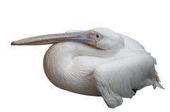 Pelican Sleeping Royalty Free Stock Image