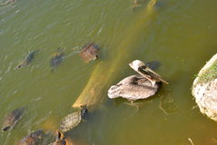 Pelican and snapping turtles. A couple of snapping turtles in a pond together with a pelican on Jamaica in the Caribbean royalty free stock photos