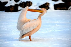 Pelican Snow Stock Photography