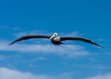Pelican soaring Royalty Free Stock Image