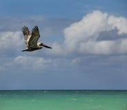 Pelican. Soaring over tropical ocean Stock Photos