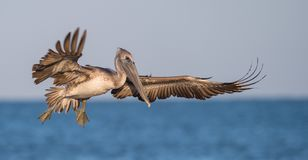 Pelican. A pelican in southern Florida stock image