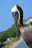 Pelican in Southport, NC Stock Photos