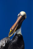 Pelican speaks Stock Photos