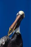 Pelican speaks. A brown pelican (latin Pelecanus occidentalis) with its beak open Stock Photos