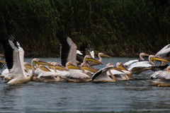 Pelican splash Royalty Free Stock Images