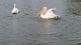 Pelican splashing water stock video footage