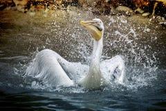Pelican Splashing Water Royalty Free Stock Images