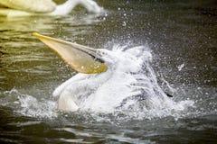 Pelican Splashing Water Royalty Free Stock Photos