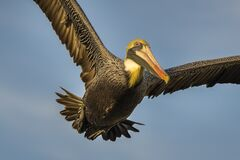Pelican with spread wings Royalty Free Stock Photos