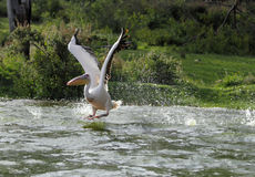 Pelican spreading its wings to fly Stock Image