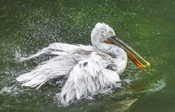 Pelican. A pelican spreading water around by shaking wings quick stock images