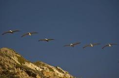 Pelican squadron. Flight of brown pelicans at Jalama beach, California Stock Photography