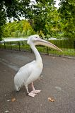 Pelican in St. James Park Stock Photography